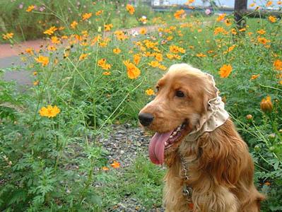orangecosmos2.jpg