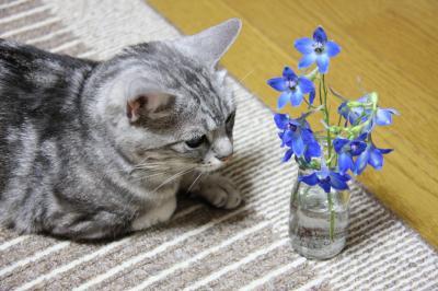 hana cat
