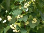 シナノキの花2