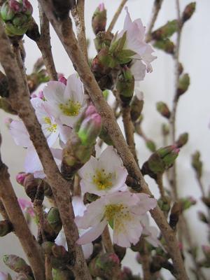 御殿場桜-1