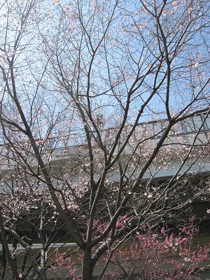 十月桜-1