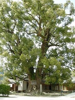 パワースポットの木