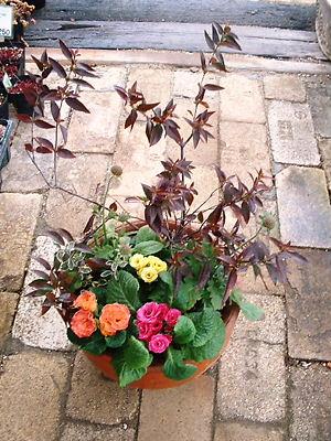 八重咲きジュリアンの寄せ植え