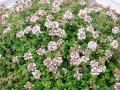 タイム ロンギガウリスの花