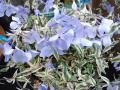宿根フロックス モントローザ トリカラーの花