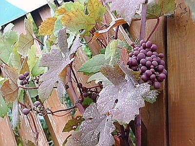 ヨーロッパブドウ プルプレア