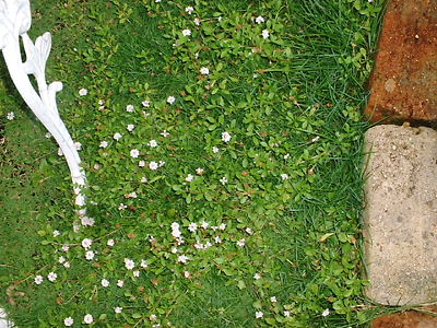 芝生とヒメイワダレソウ