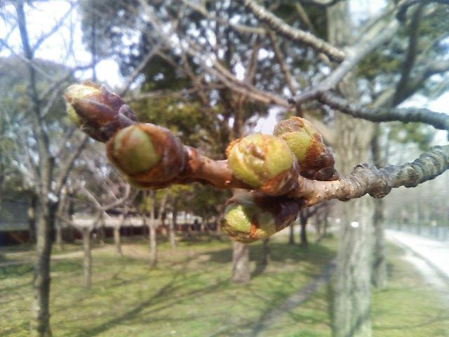 今朝の桜のつぼみ