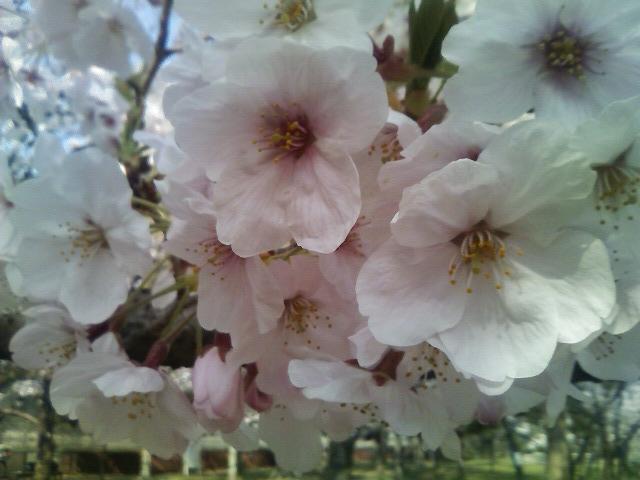 昨日の大阪城の桜