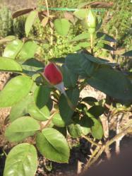 20110911アンネのバラ2