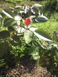 20110911アンネのバラ