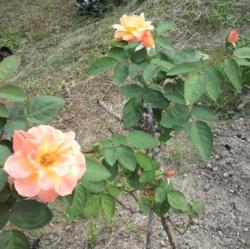 20110914バラ3