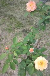 20110914バラ