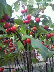 20110925赤い実