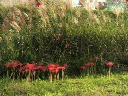 20110929彼岸花とすすき