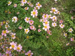 20111102ウインターコスモス 黄色とピンク~♪