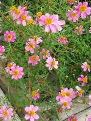 20111102ウインターコスモス 黄色とピンク~♪3