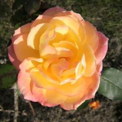 20111124バラ