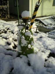 20111224雪とひまわり