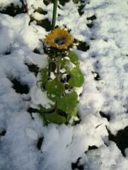 20111224雪とひまわり2