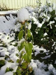 20111224雪とひまわり3