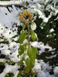 20111224雪とひまわり4