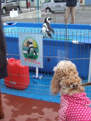 ペンギンねらう