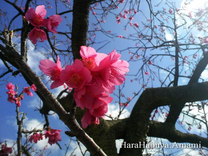 緋寒桜(ひかんざくら)