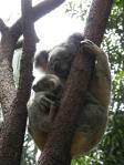 コアラ&赤ちゃんコアラ