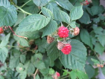 razberry.jpg