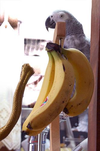 ヨウムとバナナとKGのしっぽ
