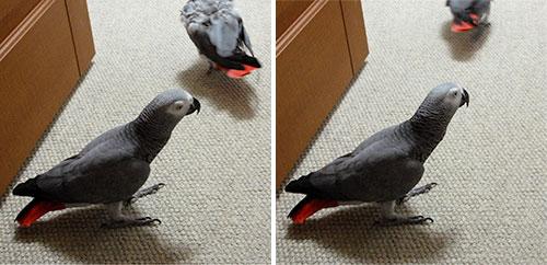 鳥部屋床のChloe