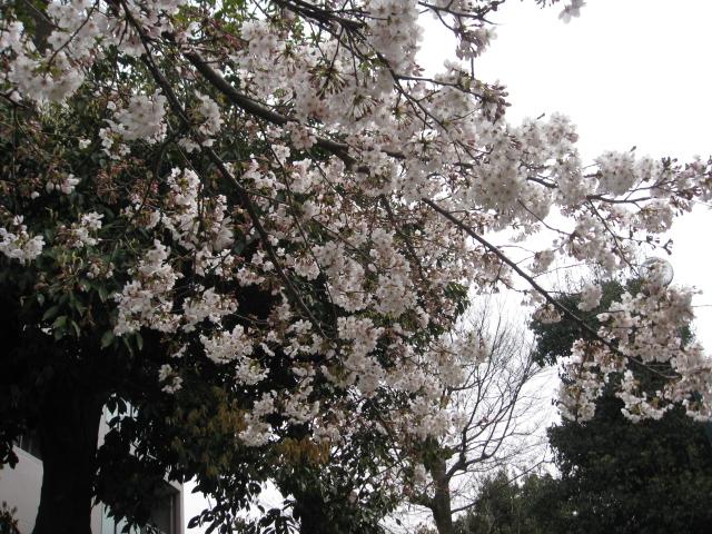 船岡山公園 さくら