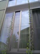 2008年朝顔ぐんぐん (2)
