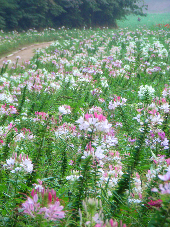 080907今日の花の国1