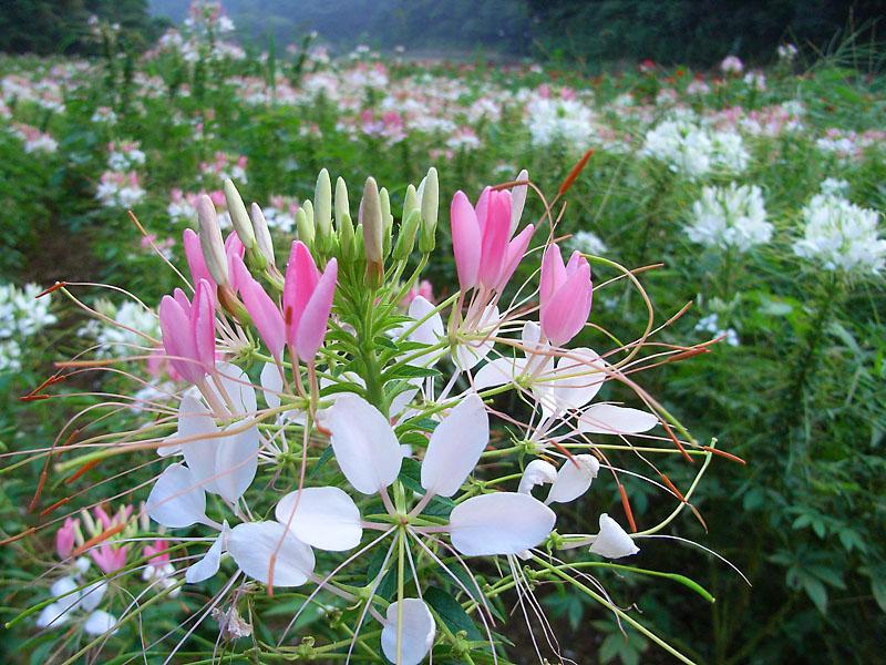 080907今日の花の国2