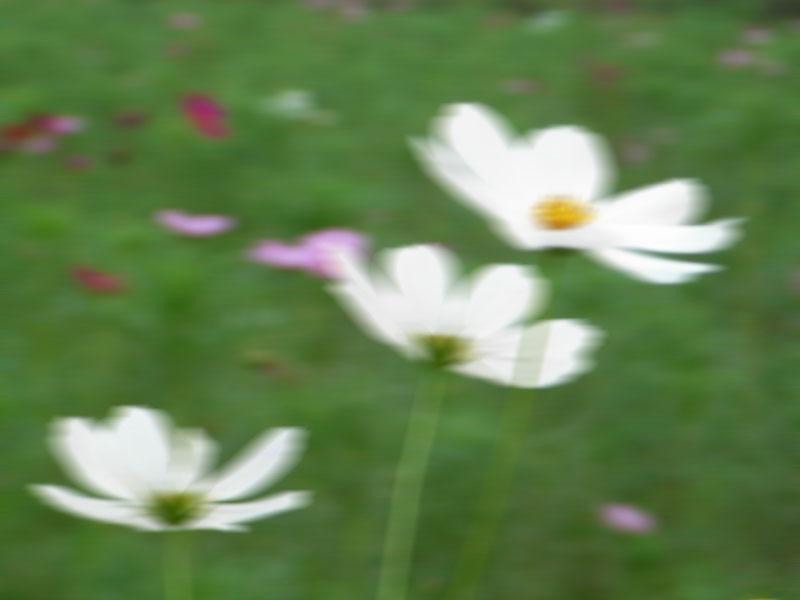 080907今日の花の国3