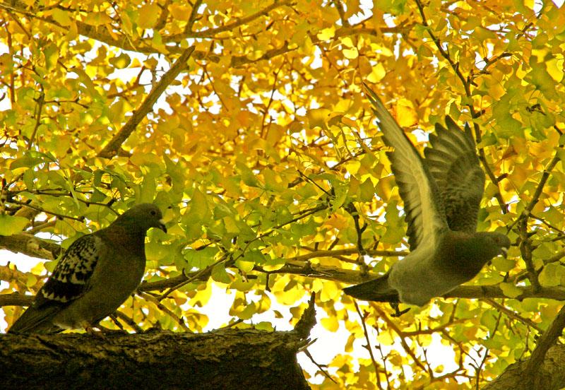 081203黄葉に染まる鳩