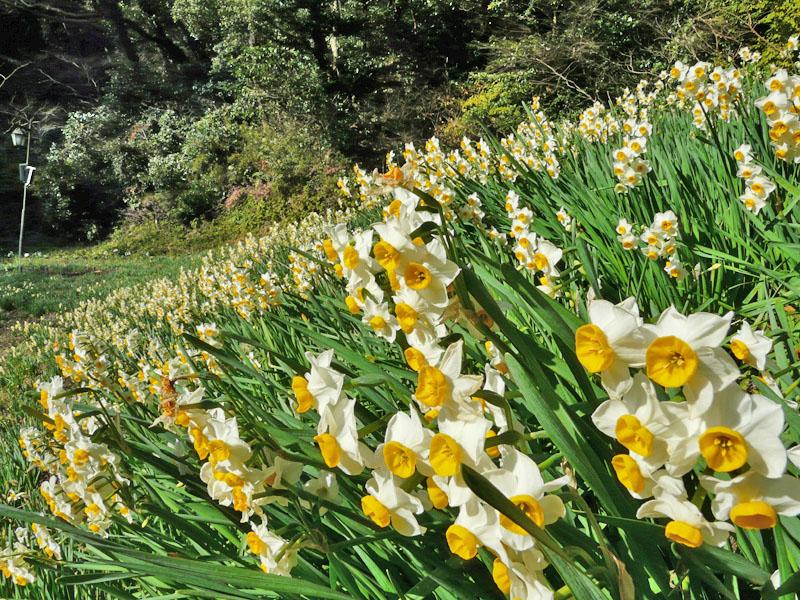 081228花の国の水仙1