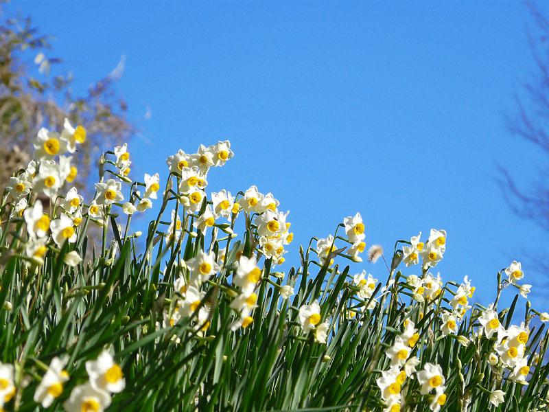 081228花の国の水仙2
