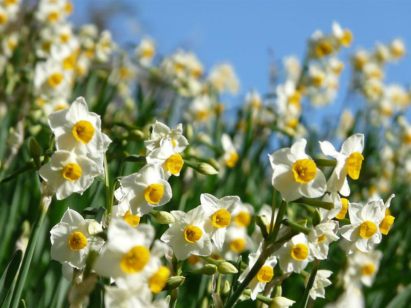 081228花の国の水仙3