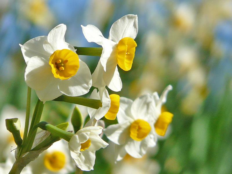 081228花の国の水仙4