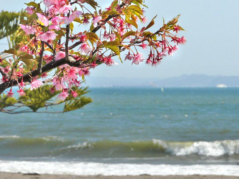 090221海と三浦の河津桜1