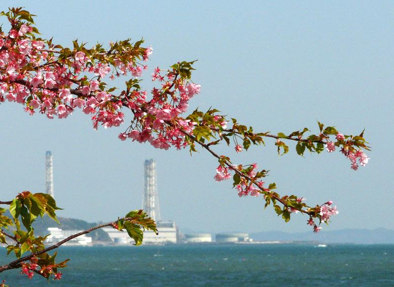 090221海と三浦の河津桜2