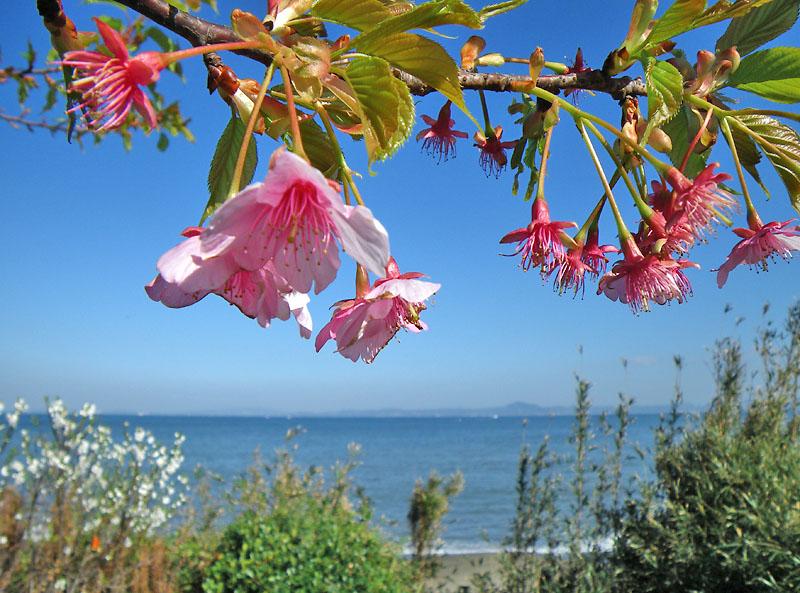 090221海と三浦の河津桜3