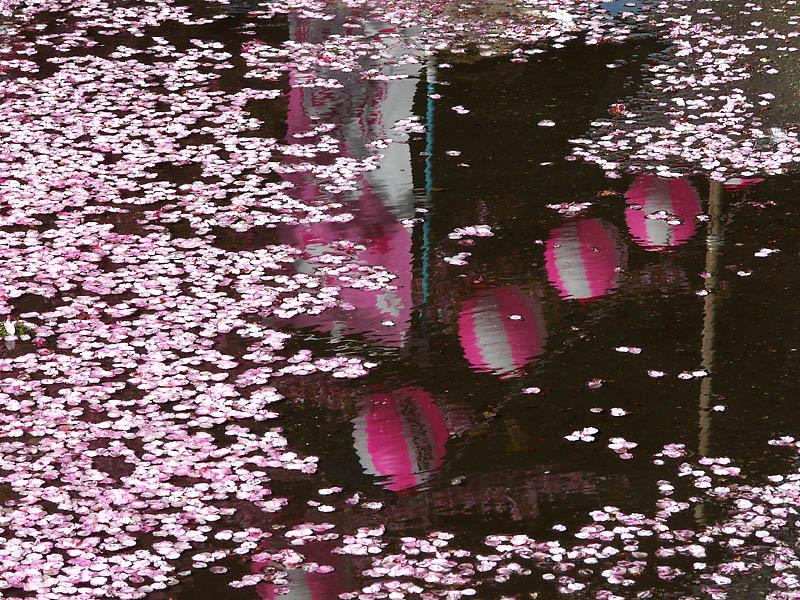 090221海と三浦の河津桜5