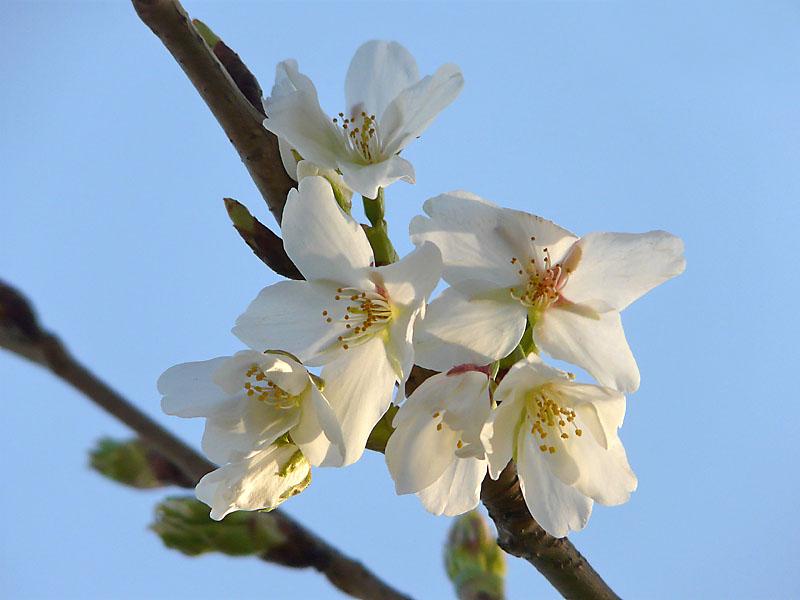 090320桜開花1