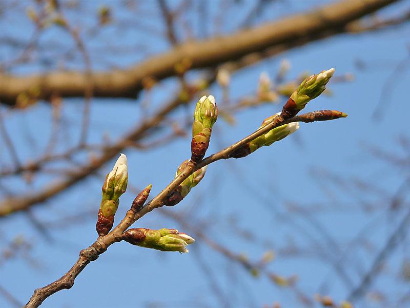090320桜開花2