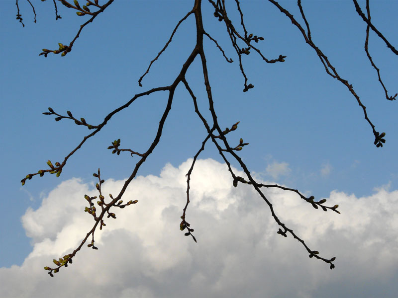 090320桜開花4