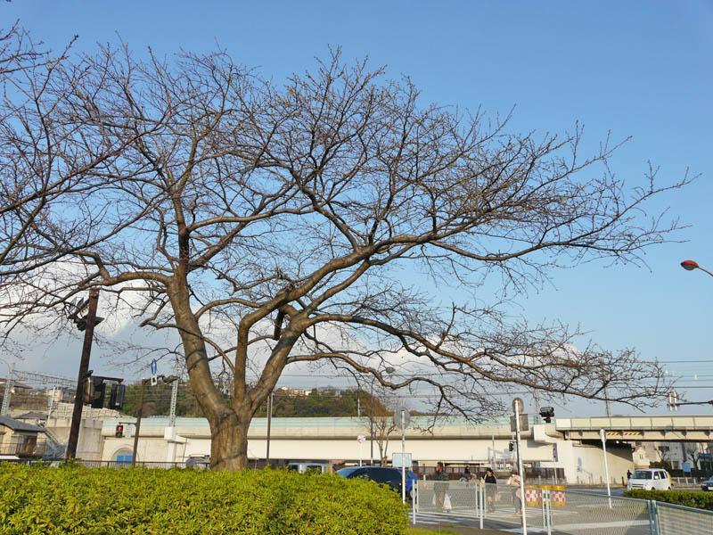 090320桜開花3